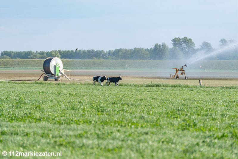 Brandweer tijd bezig met vangen van losgebroken koeien