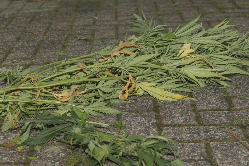 Diverse hennepkwekerijen geruimd, 483 hennepplanten vernietigd